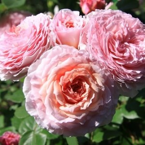rose-james-galway-min-min