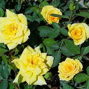 rose-yellow-doll